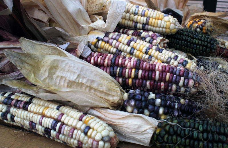 Some of the indigenous corn varieties growing in Taylor Keen's backyard include Cherokee White, a kind of sweet corn with white, purple, and yellower kernels that is ground for flour, and green Oaxacan, which is processed to make hominy and corn meal.