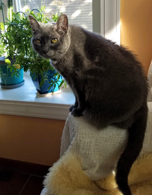 """17 year old Russian Blue, """"Ellora"""""""