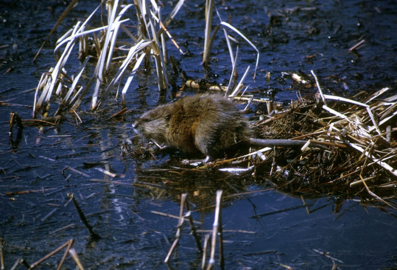 A muskrat in one of Iowa's wetland areas