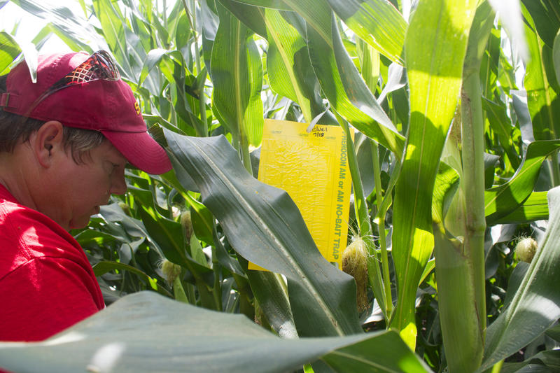 On a hot July day, agronomist Angie Rieck-Hinz places rootworm traps in a corn field to help researchers study the pest.