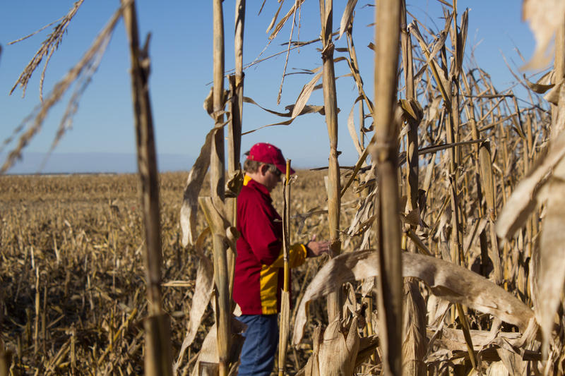 Rieck-Hinz looks at rows of corn planted for a research trial a few hours before they are to be harvested.