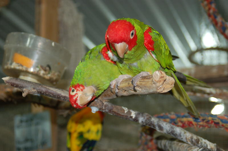 Many of the birds at Iowa Parrot Rescue develop relationships in pairs