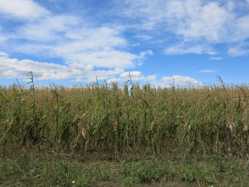 A corn field in rural Weld County, Colorado.