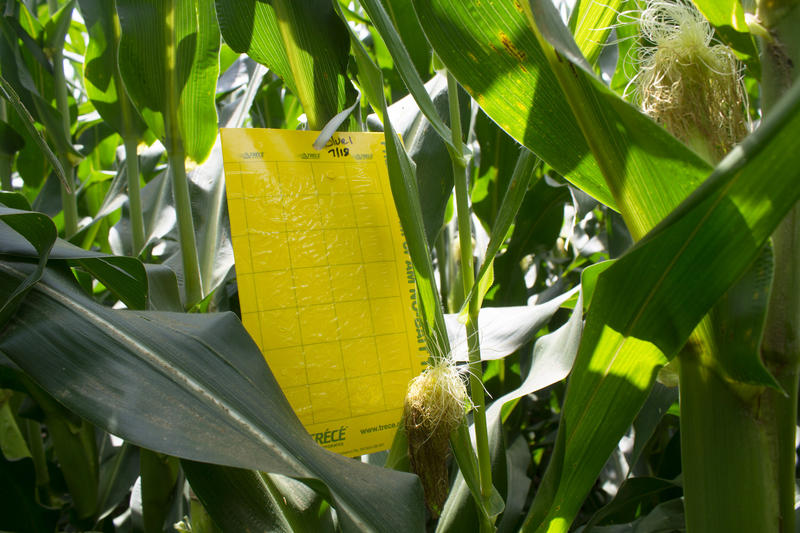 Slathered with an adhesive, this trap will collect rootworms on the corn plant and ultimately will help researchers develop recommendations for managing the pests.
