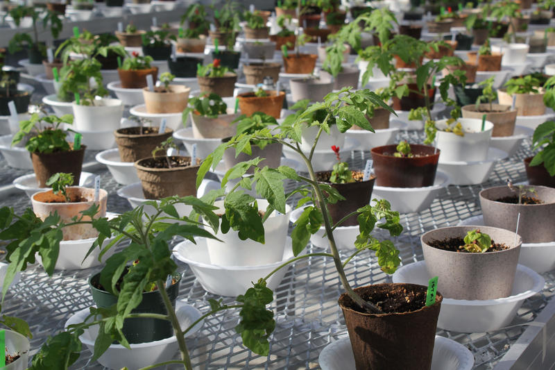 In a greenhouse at Iowa State University, tomatoes and salvia grow in pots made from bioplastics.