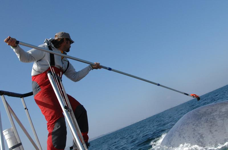 Ari Friedlaender tags a blue whale with a data tag during a Navy-funded behavioral response study off Southern California.