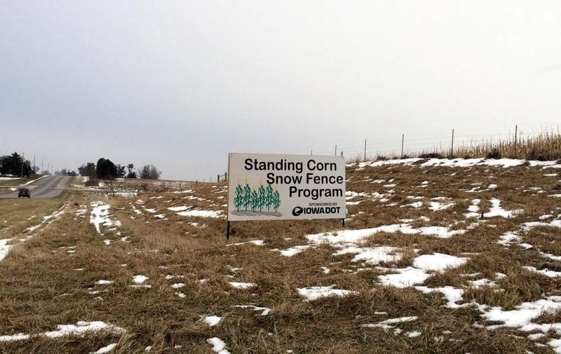 Standing corn serves as a snow fence to keep roads clear of blowing or drifting snow.