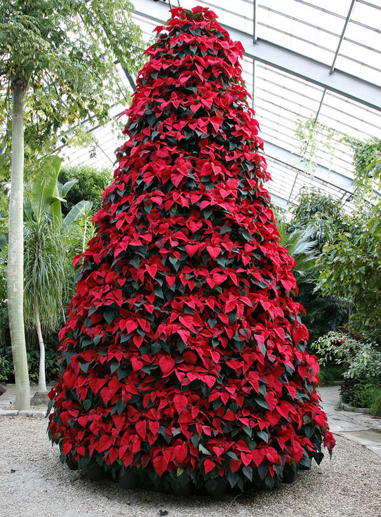 Christmas Trees And Poinsettias What To Look For And How To Keep