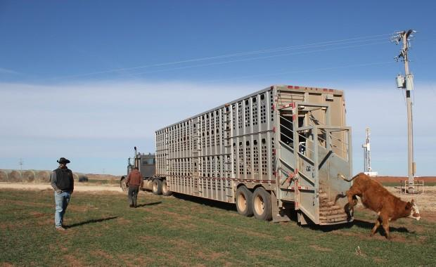 A ranch foreman unloads a trailer of Red Angus to winter in a pasture near Alva, Okla.