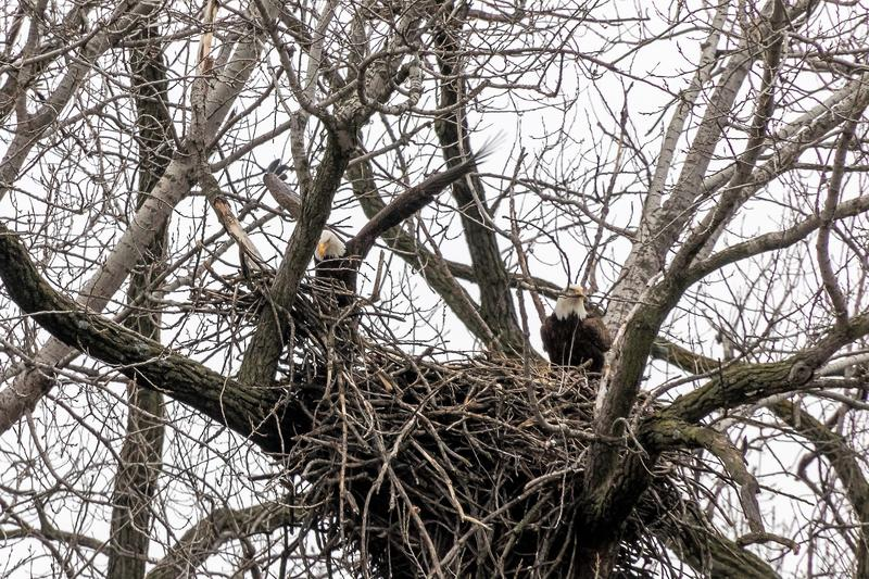 An eagle's nest at Gray's Lake Park in Des Moines on March 26, 2017