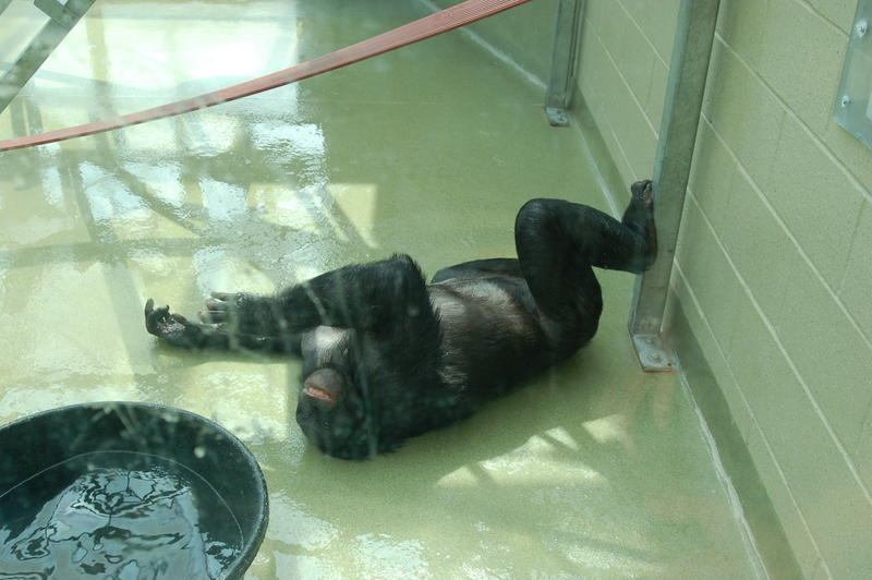 Kanzi slides along the floor of the greenhouse during water play.