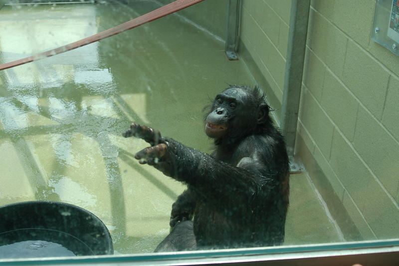 Kanzi gestures through the window of the greenhouse.