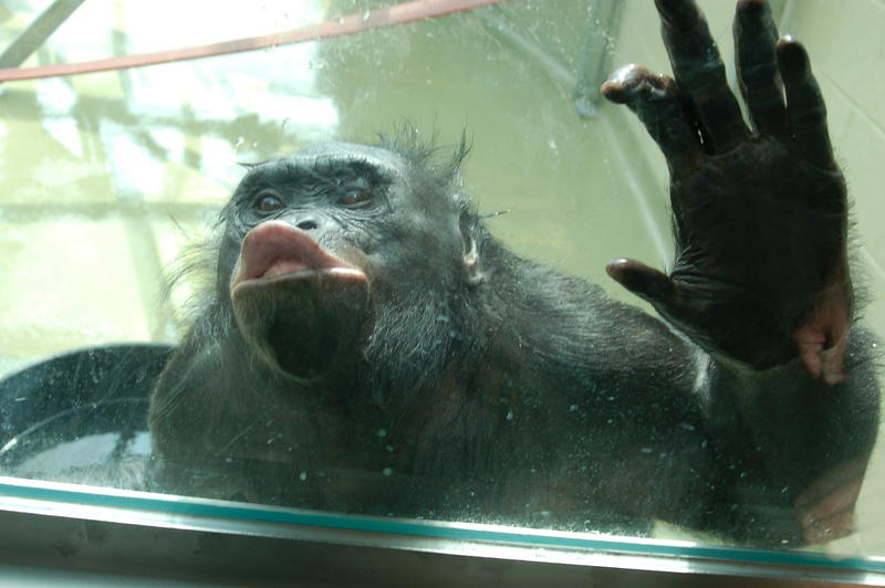 "Kanzi entertaining visitors by making a ""kissy"" face through the greenhouse window"