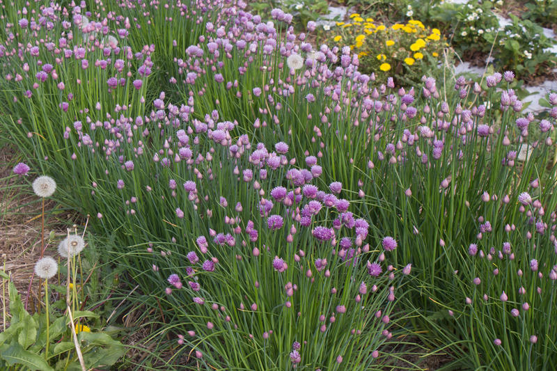 Chives bloom at the Student Organic Farm at Iowa State University. Sales of organic produce continue to rise, exceeding $40 billion for the first time in 2016, according to the Organic Trade Association.