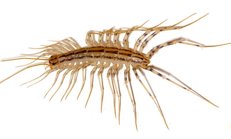a house centipede