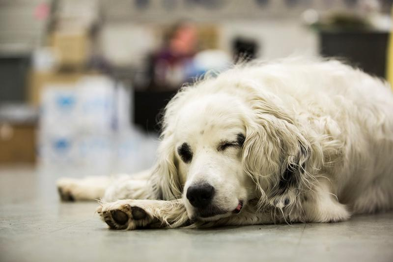 "Mabel ""the News Hound"" snoozes on the floor at the Storm Lake Times."