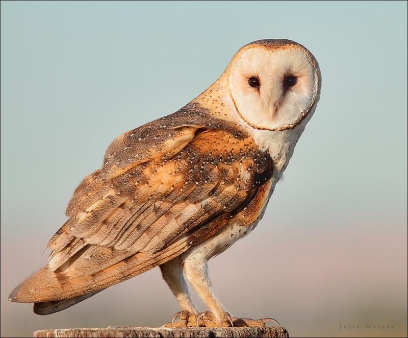 The barn owl is one of the species that inhabit the lower Loess Hills region.