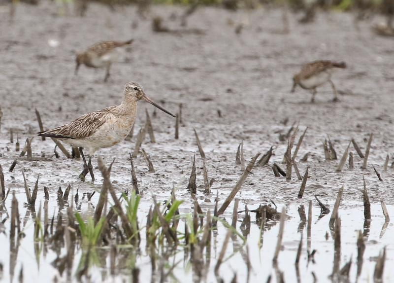 The bar-tailed godwit at Lake Red Rock in Marion County on August 6, 2017