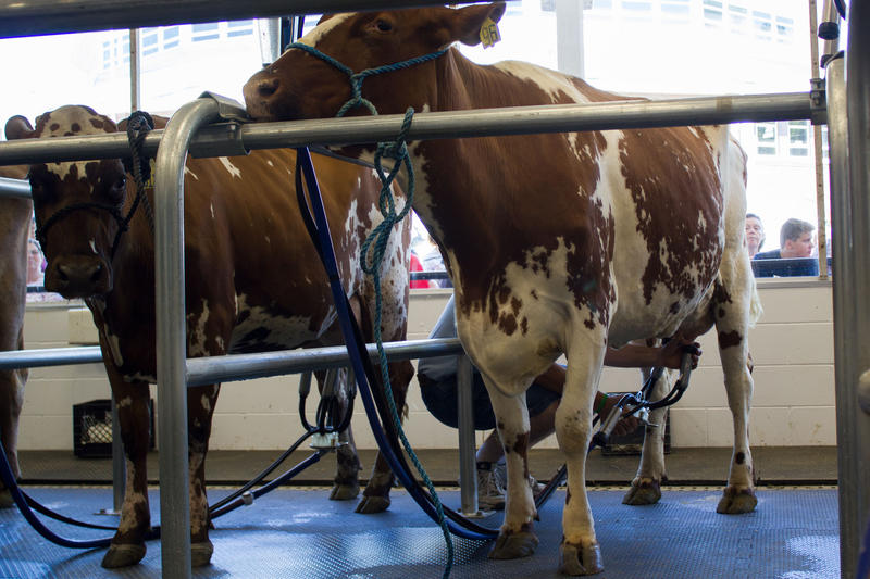 The milking parlor at the Iowa State Fair is open nearly 18 hours a day, and fairgoers can watch the milking process.