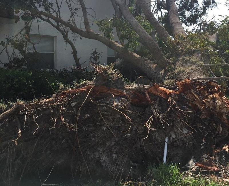 The mahogany tree that fell on the Mirr's home in Naples.