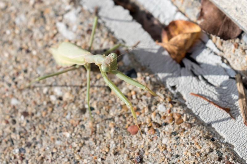 Praying mantis outside of IPR's Des Moines studio October 2016