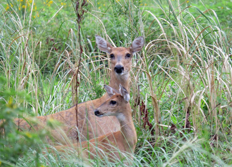 White-tailed deer at Port Louisa National Wildlife Refuge in Iowa