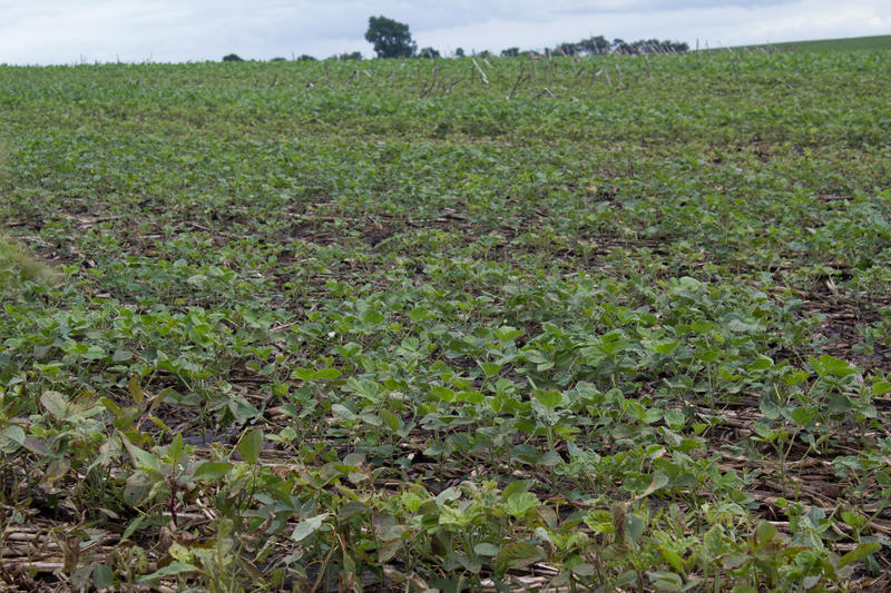 Soybeans grow in Washington County in June.