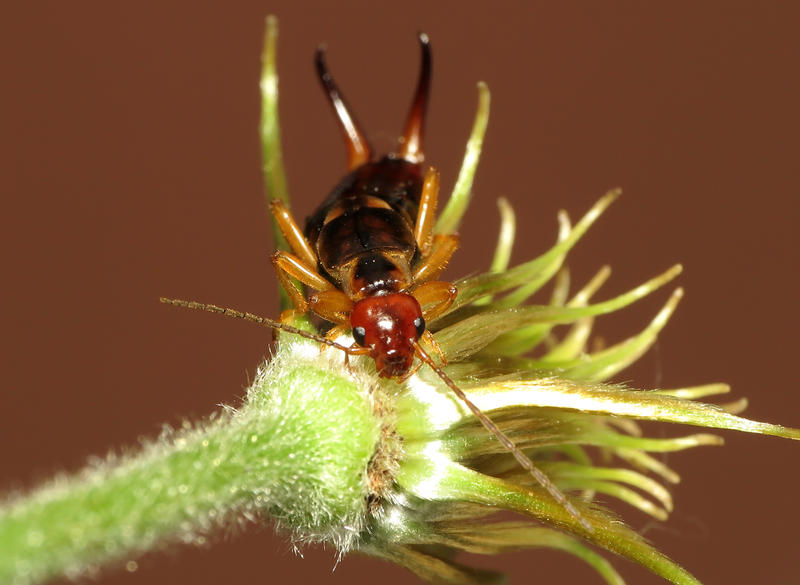 Male Earwigs have curved pincers, whereas female Earwigs have curved ones.