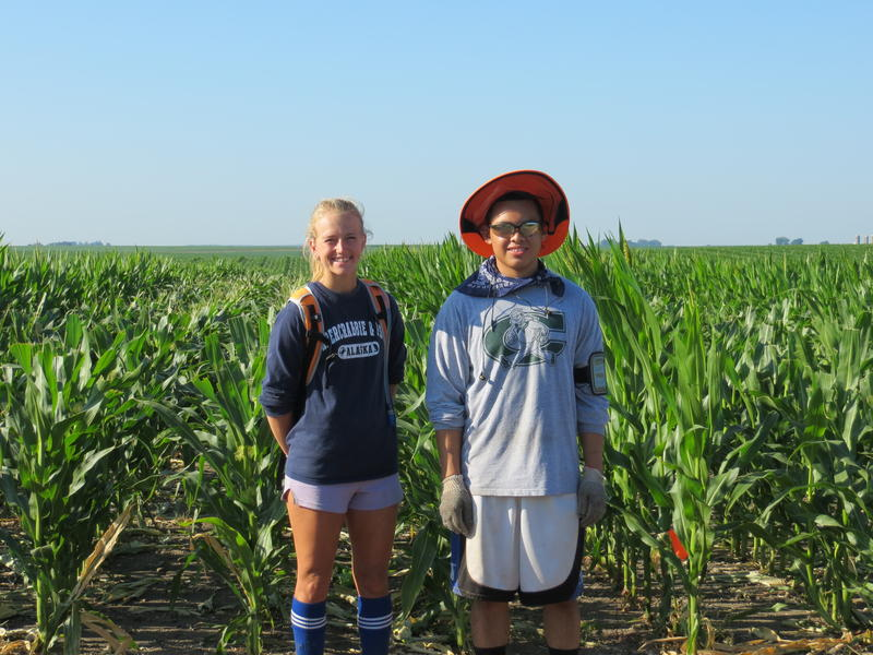 Hundreds of workers, mostly teenagers, spend about 20 days in Iowa cornfields in a job known as detasseling.  The very top of the corn plant is removed to promote pollination and increased yields.
