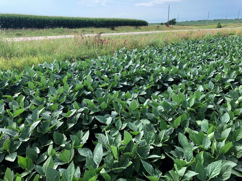 Soybeans and corn grow on the land farmed by Rob Stout in Southeast Iowa's Washington County.