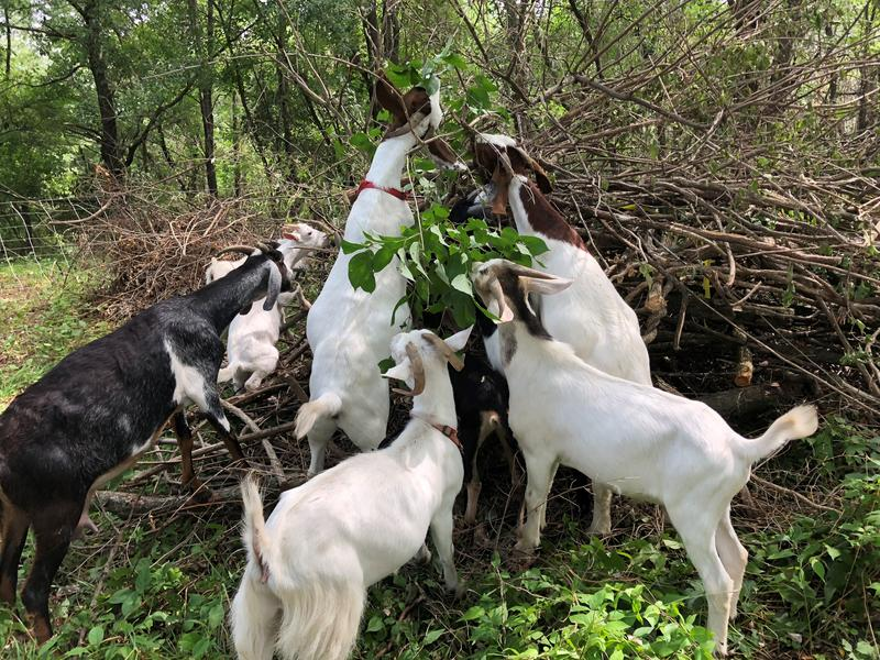 Goats have cut the amount of human labor needed on an acre at the Muddy Creek Preserve from a matter of days to a matter of hours.