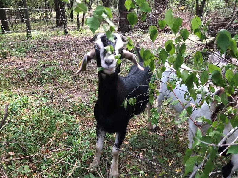 The Bur Oak Land Trust rotates the goats periodically from parcel to parcel so they don't eat the vegetation down to the ground.