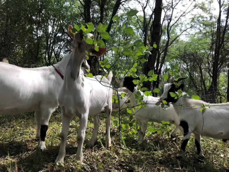 The goats' handlers have found they seem to prefer to eat woody plants before grassy plants.