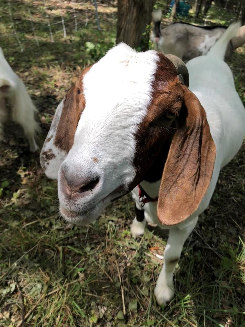 The Bur Oak Land Trust has found goats can clear vegetation much faster than their team of human volunteers.