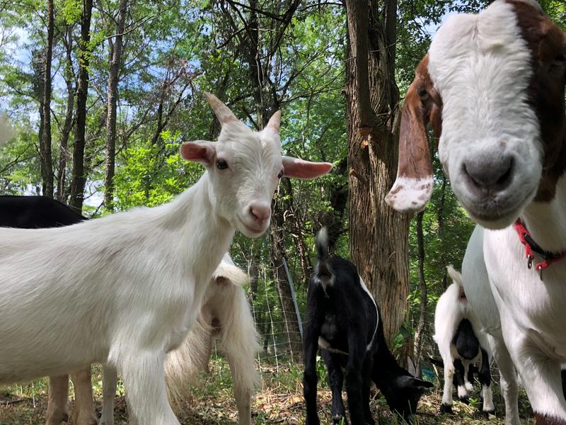 The Bur Oak Land Trust is relying on goats to help clear invasive and overgrown plants on its conservation lands.