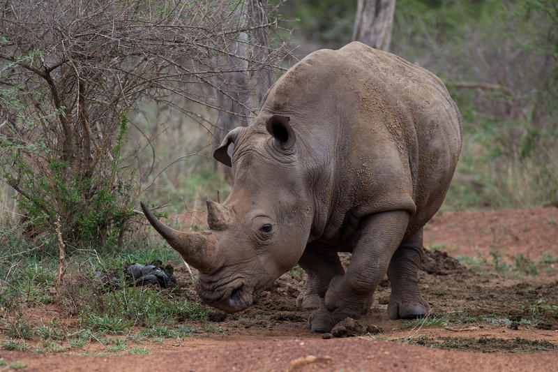 As of March 2018, there are only two rhinos of the northern white rhino left, both of which are female.