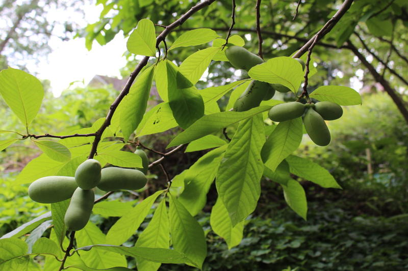 Pawpaw fruit makes an exciting and delicious addition to your garden.