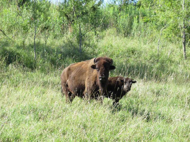 A bison and a calf wandering around Broken Kettle Grasslands Preserve in western Iowa.