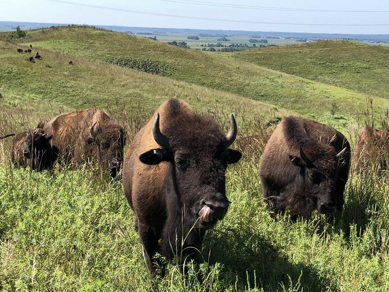 Bison graze on different grass species at Broken Kettle Grasslands, which helps plants grow and provides habitat for birds.