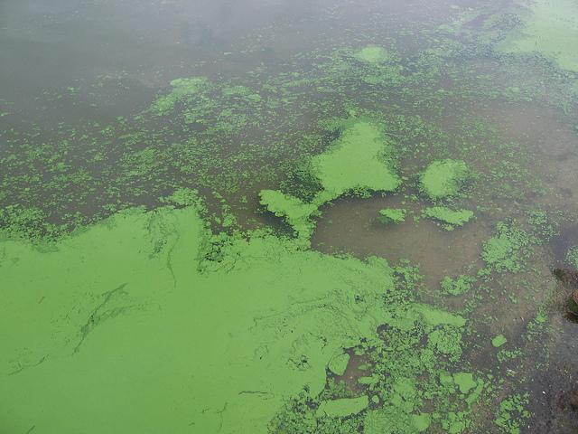 Cyanobacteria blooms can produce toxins called microcystins. State researchers found the harmful chemicals in raw water supplies across Iowa.