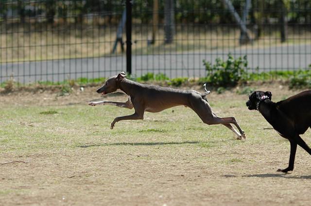 Greyhound dogs running at a park.