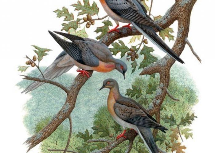 3 Billion to Zero: What Happened to the Passenger Pigeon?
