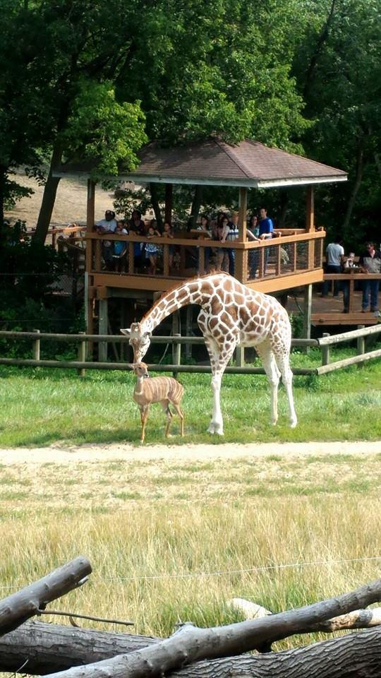 Zoo Euthanizes Beloved Giraffe | Iowa Public Radio