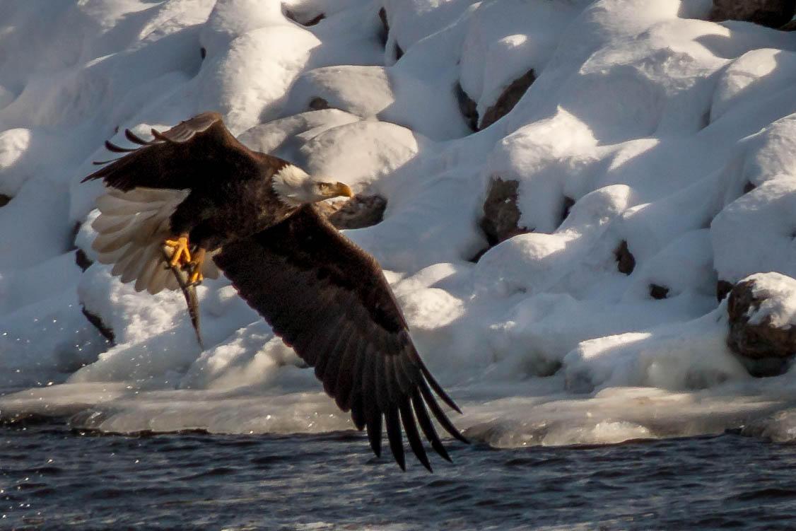 Wildlife Day Iowa Public Radio Diagram Additionally Bald Eagle Life Cycle On Michael Leland