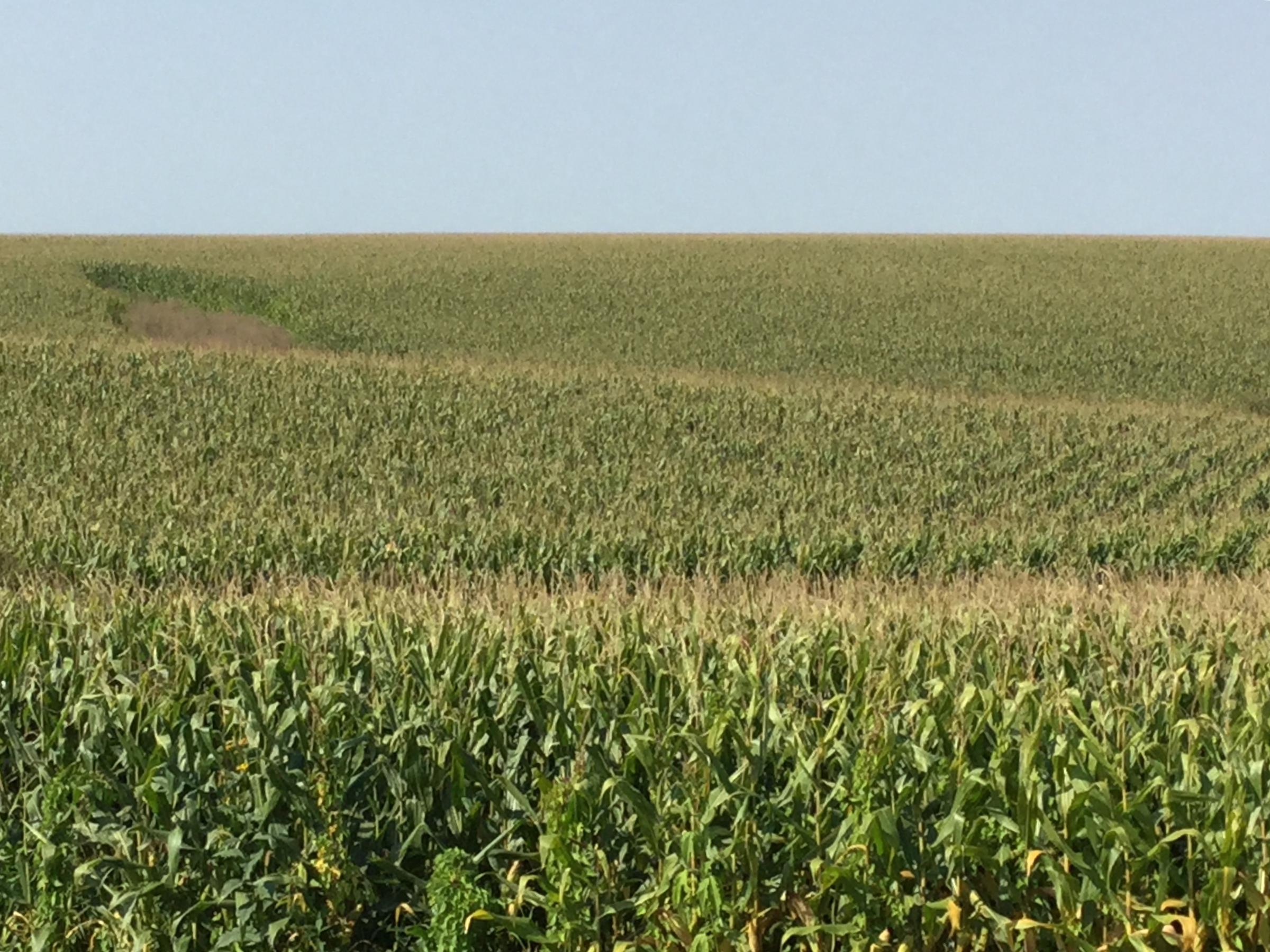 South Dakota Corn, Soybean Crop to Decline This Year
