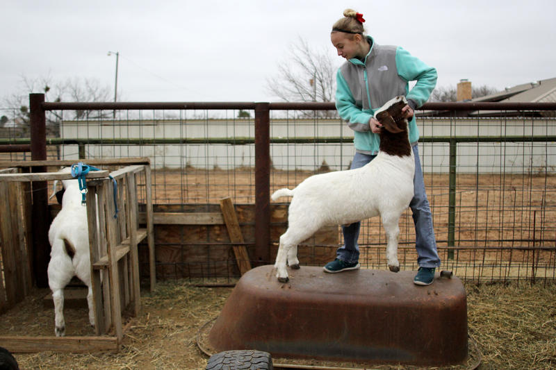 Shae Nicholson, 12, teaches her goat, Fearless, to brace  against her Wednesday, January 14, 2015 at her home.