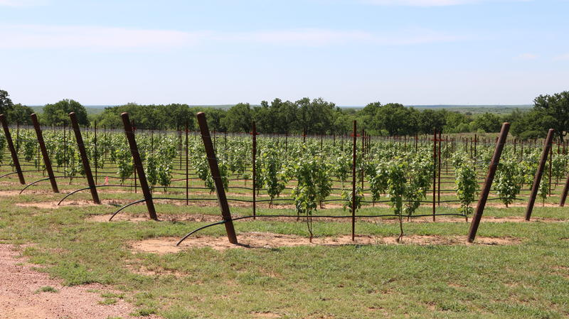 Rancho Loma Vineyards planted three acres of grapes near Coleman in 2017.