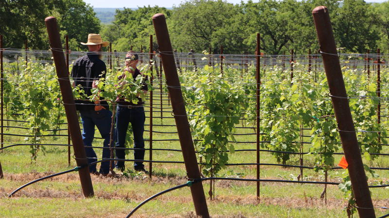 Rancho Loma Vineyard Manager Josh Davis and Viticulture  Director Ed Hellman discuss how to deal with a visitor, possibly a bunny, who's gotten through the fencing and been nibbling on the leaves on one section of vines.