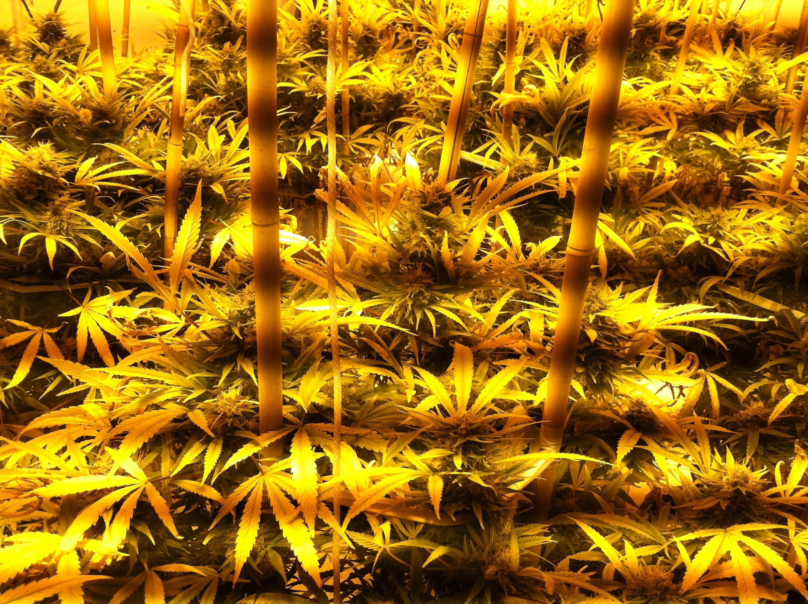 science audio harmful cannabis podcast