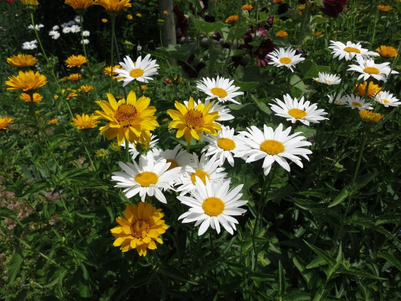Daisies flourish in one of Kim Bock's many flower beds.